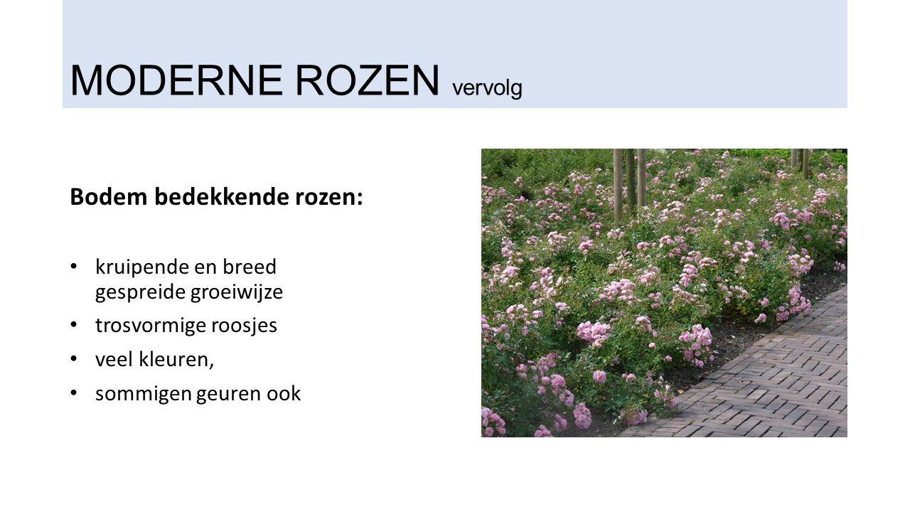 MODERNE ROZEN vervolg Bodem bedekkende rozen: kruipende en breed gespreide groeiwijze trosvormige roosjes veel kleuren, sommigen geuren ook