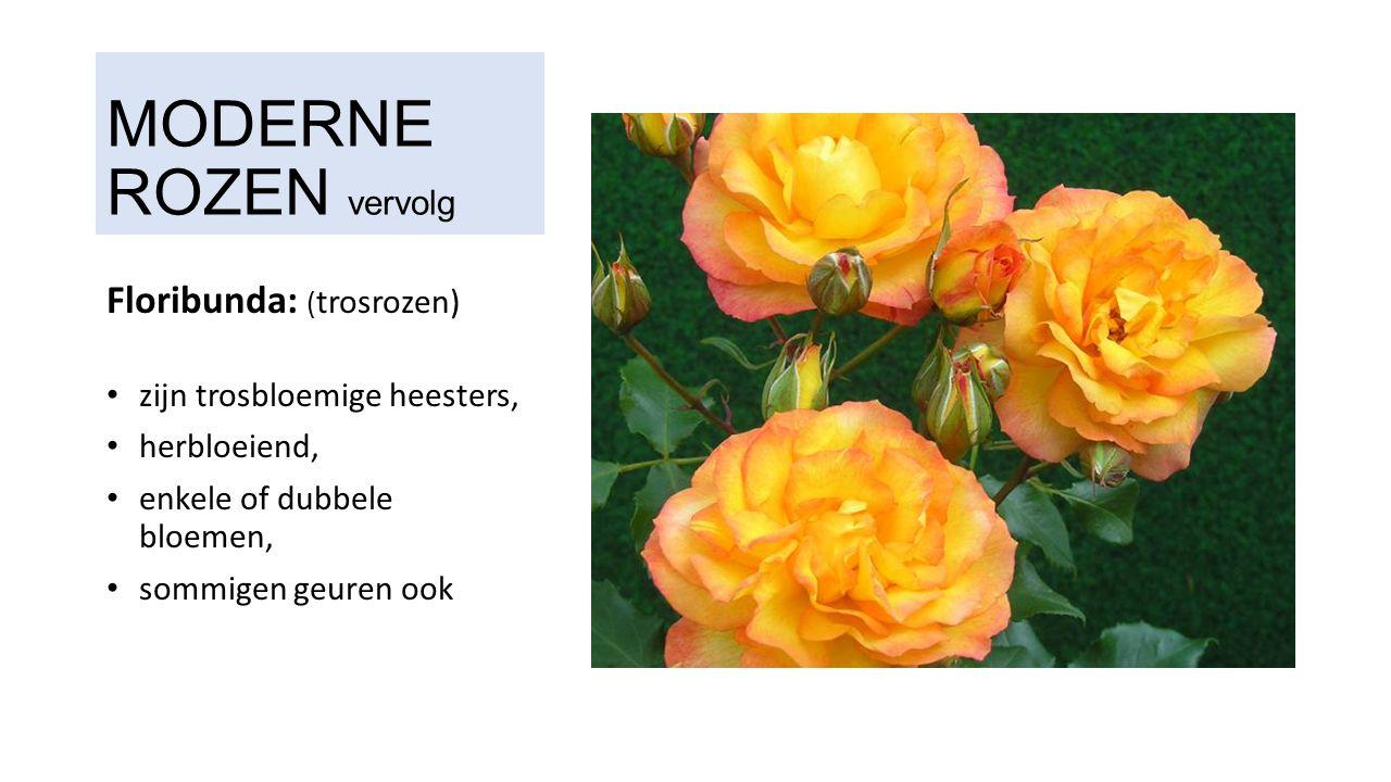 MODERNE ROZEN vervolg Floribunda: ( trosrozen) zijn trosbloemige heesters, herbloeiend, enkele of dubbele bloemen, sommigen geuren ook
