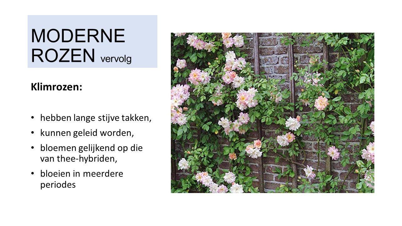 MODERNE ROZEN vervolg Klimrozen: hebben lange stijve takken, kunnen geleid worden, bloemen gelijkend op die van thee-hybriden, bloeien in meerdere periodes
