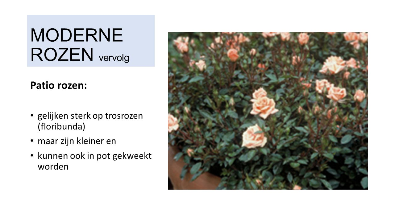 MODERNE ROZEN vervolg Patio rozen: gelijken sterk op trosrozen (floribunda) maar zijn kleiner en kunnen ook in pot gekweekt worden