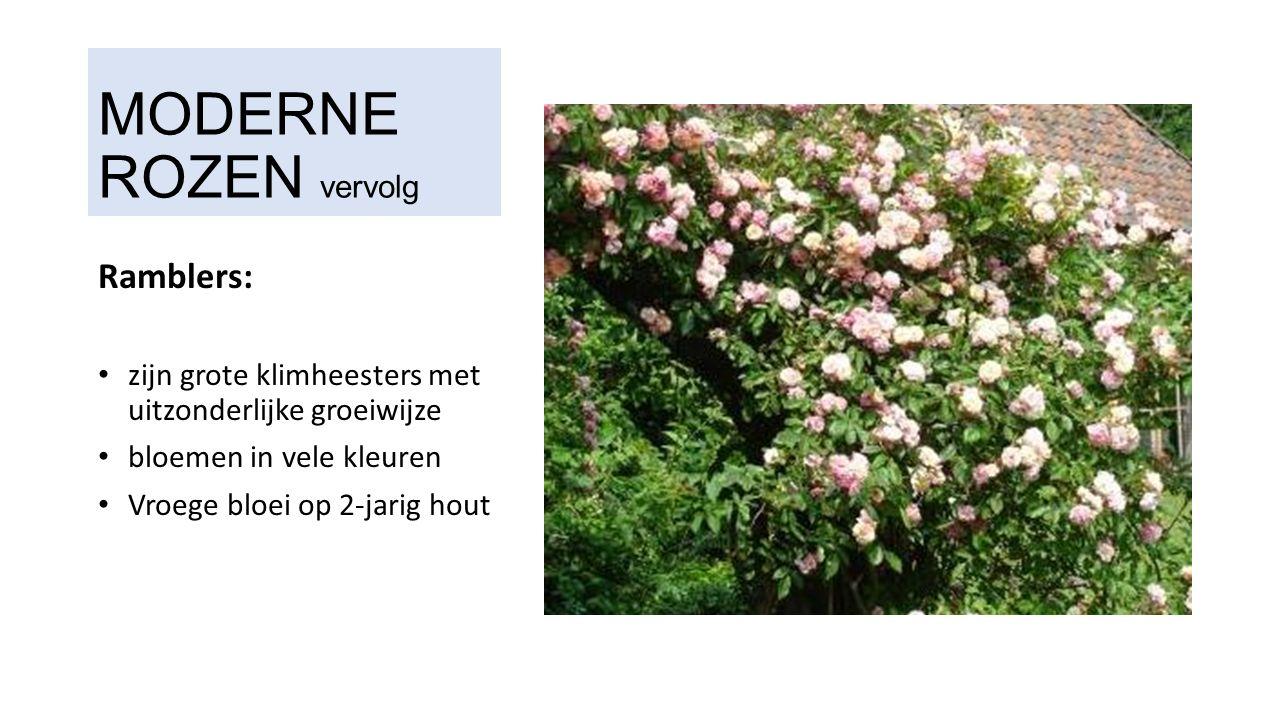 MODERNE ROZEN vervolg Ramblers: zijn grote klimheesters met uitzonderlijke groeiwijze bloemen in vele kleuren Vroege bloei op 2-jarig hout