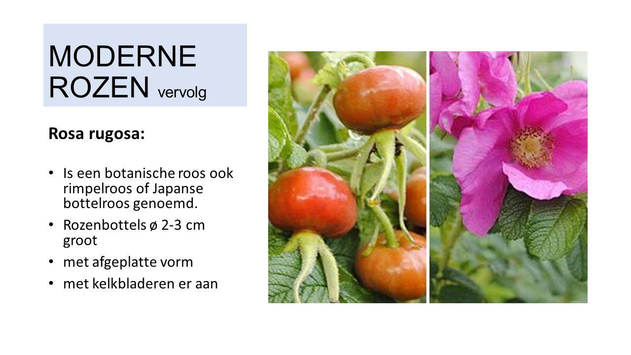 MODERNE ROZEN vervolg Rosa rugosa: Is een botanische roos ook rimpelroos of Japanse bottelroos genoemd.