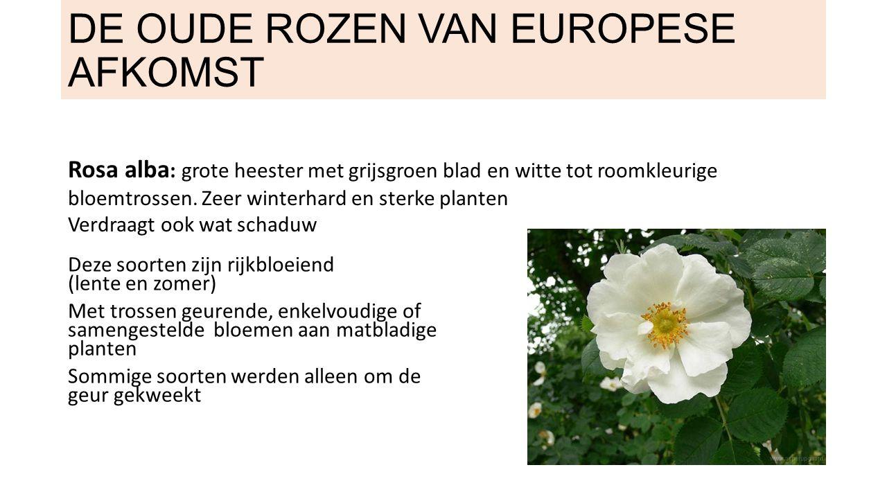 Rosa centifolia: honderdbladige of ook Provence of Hollandse roos genoemd Vrij slordige en doornige maar heerlijk ruikende rozenstruiken met roze, witte en paarsige bloemen Kenmerkend zijn de bloemen met vele bloemblaadjes (honderdbladige) Sinds 1450 gekend - rustiek