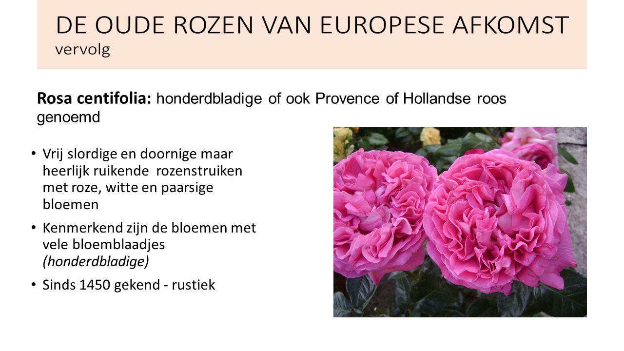 Rosa Damascena: Afkomstig van Damascus Zeer winterhard, half wild Vereist weinig onderhoud 1-2 m hoog Groep die vaak gebruikt wordt bij de productie van parfums en cosmetica in de rozenvallei in Turkije