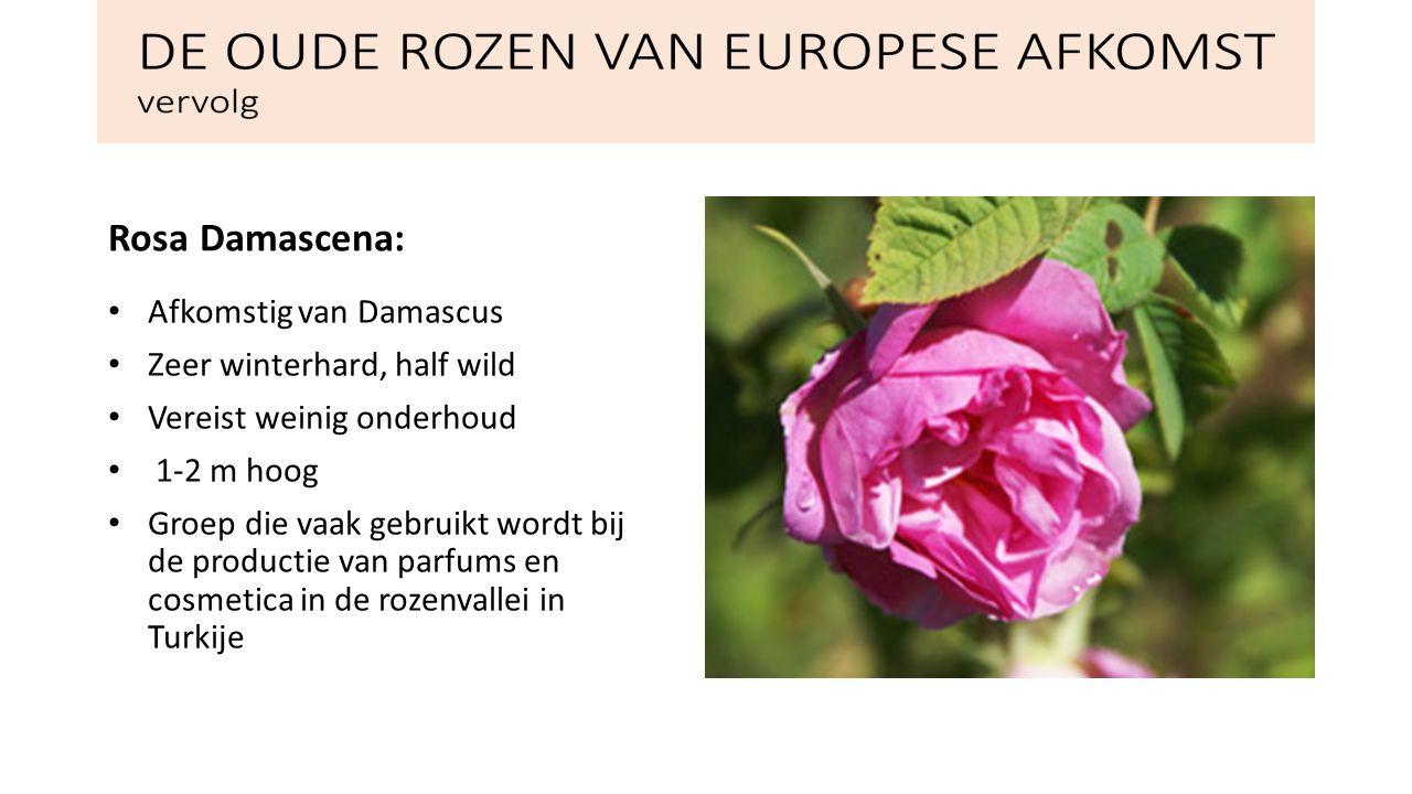 DE OUDE ROZEN VAN EUROPESE AFKOMST vervolg De Egelantierroos: Hybriden van Rosa rubiginosa Bladeren ruiken naar zure appels Grote doornige en sterk vertakte heester met roze, donkergele of paarse bloemen Sinds 1890