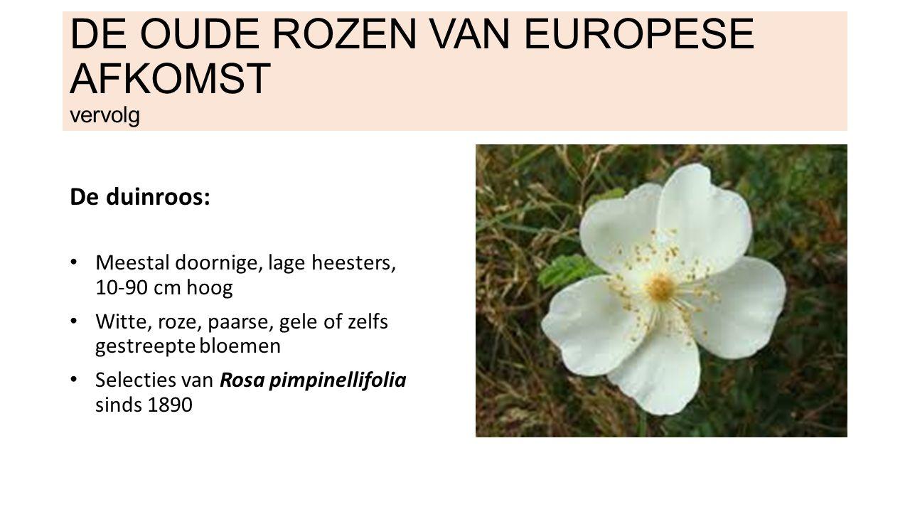 DE OUDE ROZEN VAN EUROPESE AFKOMST vervolg De duinroos: Meestal doornige, lage heesters, 10-90 cm hoog Witte, roze, paarse, gele of zelfs gestreepte bloemen Selecties van Rosa pimpinellifolia sinds 1890