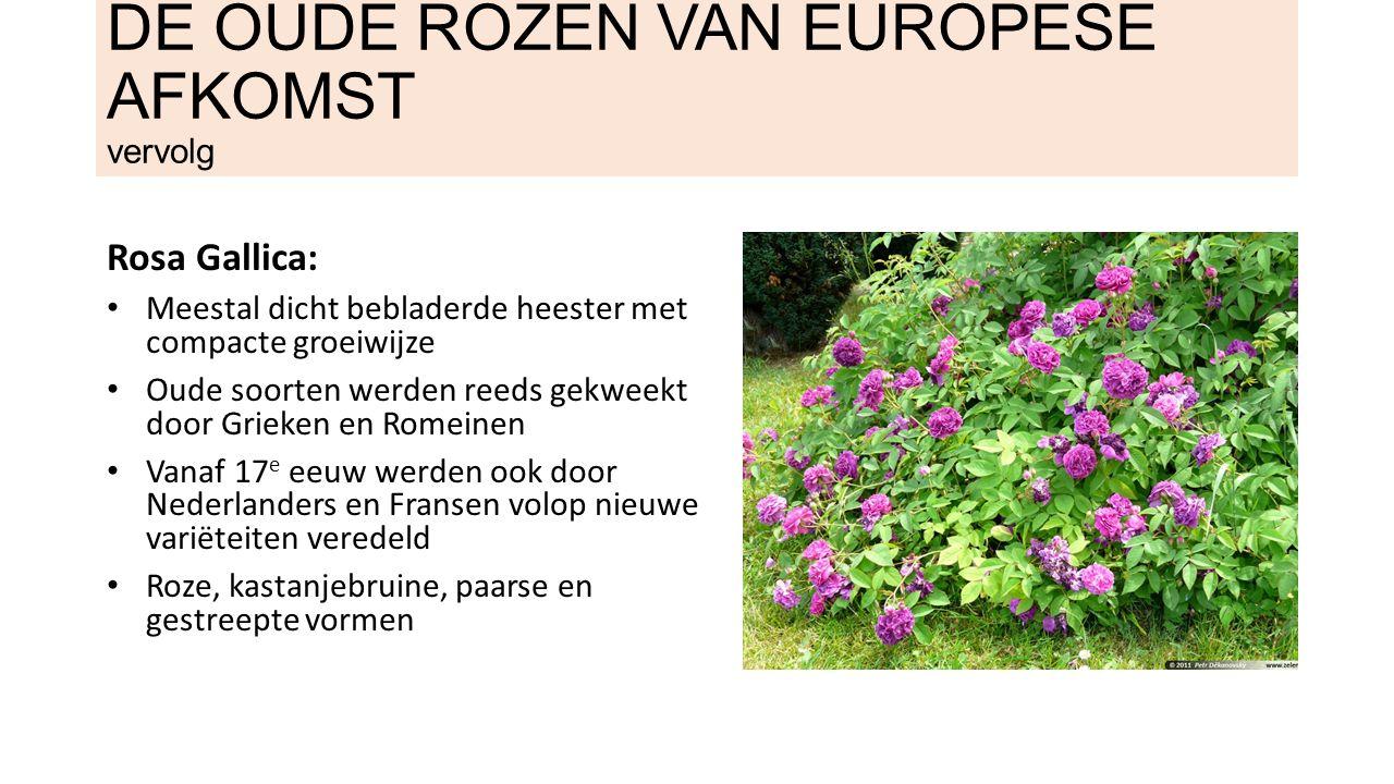 DE OUDE ROZEN VAN EUROPESE AFKOMST vervolg Rosa cristata: Mosrozen: zijn een mutant van Rosa centifolia met wonderlijke mosachtige begroeiing op takken en kelk.