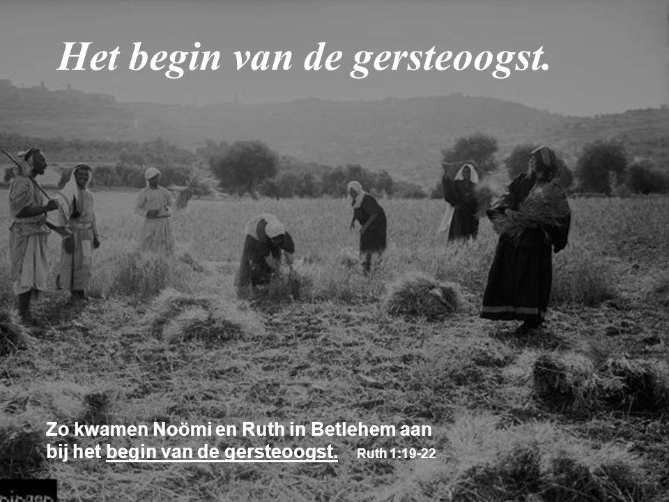 Zo kwamen Noömi en Ruth in Betlehem aan bij het begin van de gersteoogst. Ruth 1:19-22 Het begin van de gersteoogst.