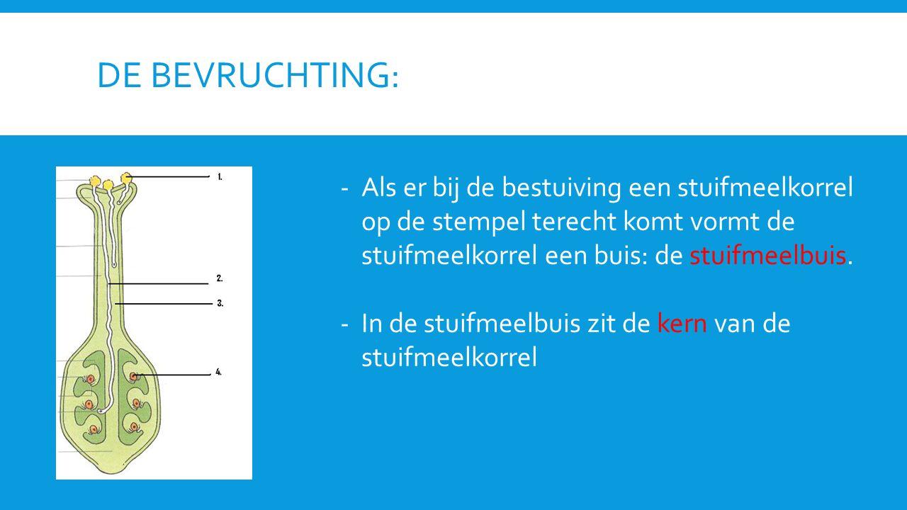 DE BEVRUCHTING: -Als er bij de bestuiving een stuifmeelkorrel op de stempel terecht komt vormt de stuifmeelkorrel een buis: de stuifmeelbuis.