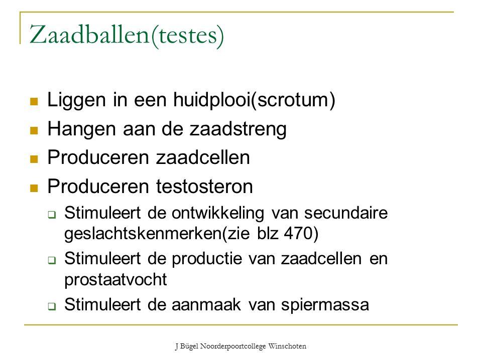 J Bügel Noorderpoortcollege Winschoten Zaadballen(testes) Liggen in een huidplooi(scrotum) Hangen aan de zaadstreng Produceren zaadcellen Produceren testosteron  Stimuleert de ontwikkeling van secundaire geslachtskenmerken(zie blz 470)  Stimuleert de productie van zaadcellen en prostaatvocht  Stimuleert de aanmaak van spiermassa