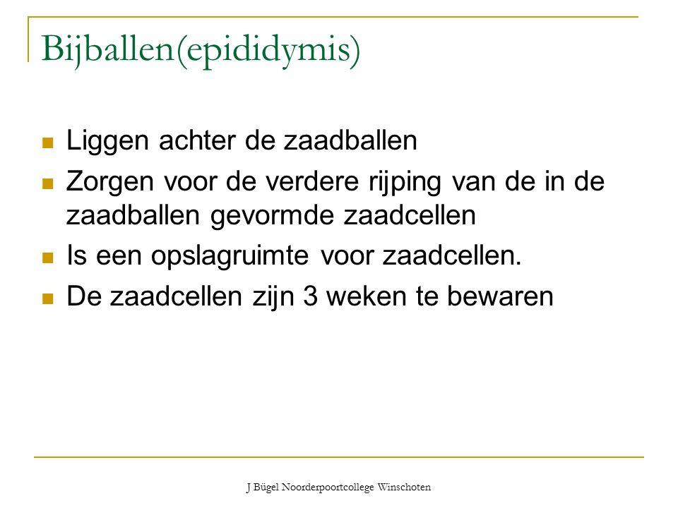 J Bügel Noorderpoortcollege Winschoten Bijballen(epididymis) Liggen achter de zaadballen Zorgen voor de verdere rijping van de in de zaadballen gevormde zaadcellen Is een opslagruimte voor zaadcellen.