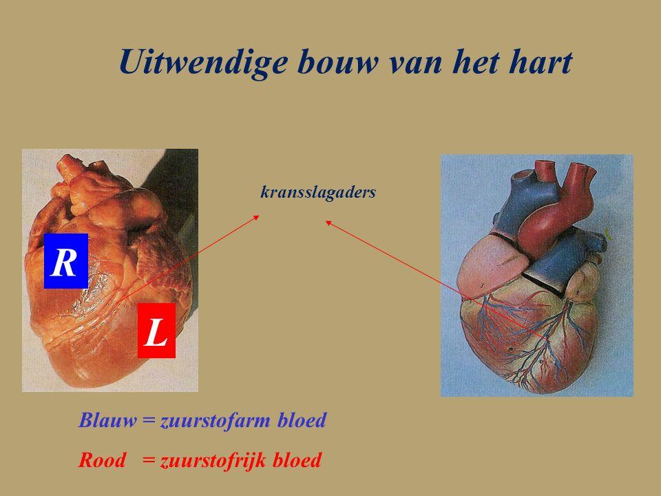 Uitwendige bouw van het hart kransslagaders R L Blauw = zuurstofarm bloed Rood = zuurstofrijk bloed