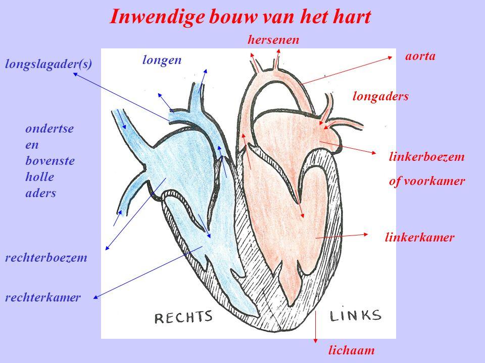 Inwendige bouw van het hart longaders linkerboezem of voorkamer linkerkamer rechterboezem rechterkamer lichaam aorta hersenen ondertse en bovenste holle aders longen longslagader(s)