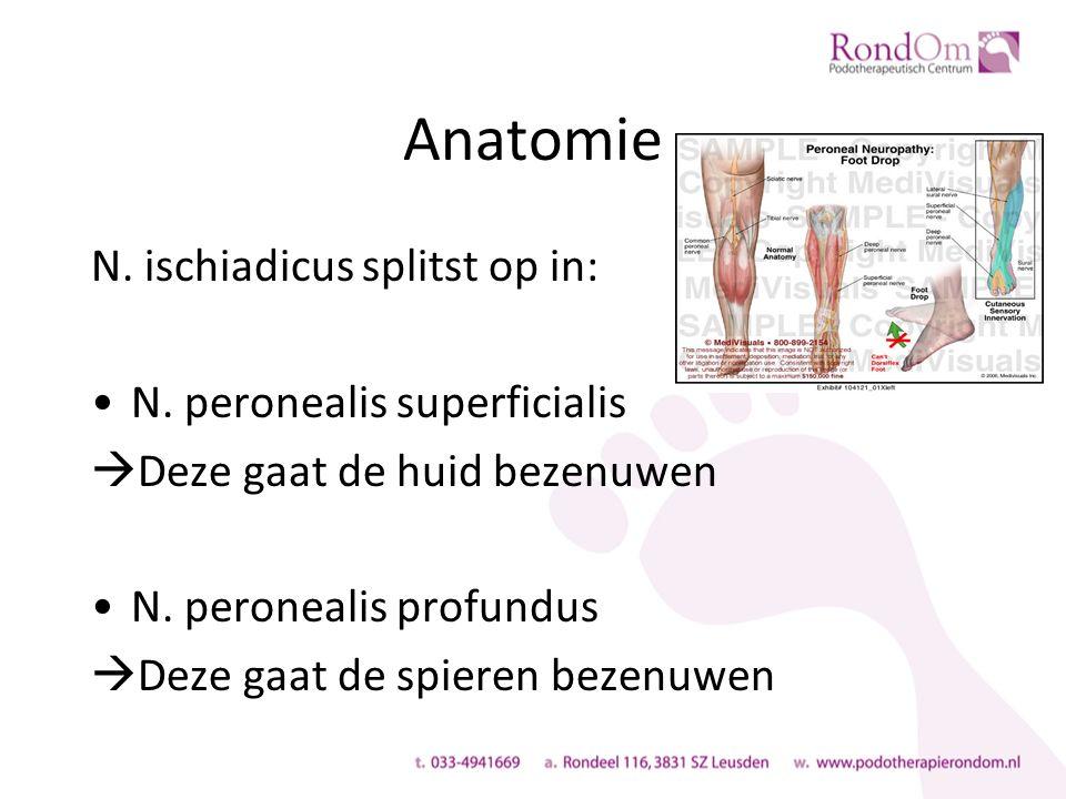 Anatomie N. ischiadicus splitst op in: N.