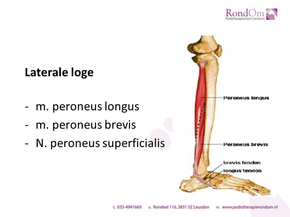 Laterale loge -m. peroneus longus -m. peroneus brevis -N. peroneus superficialis