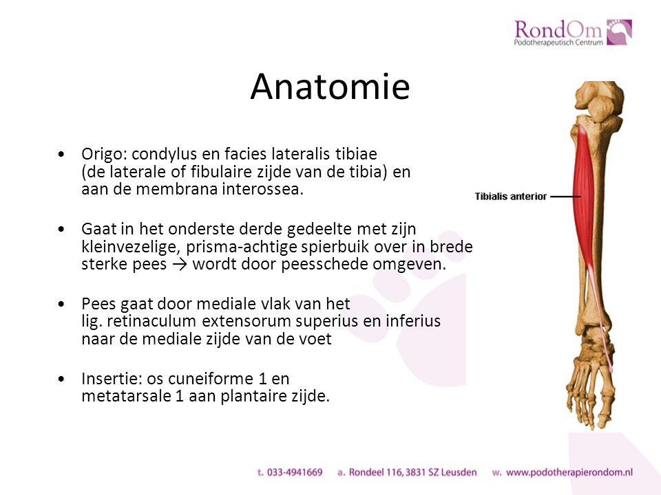 Anatomie Origo: condylus en facies lateralis tibiae (de laterale of fibulaire zijde van de tibia) en aan de membrana interossea.