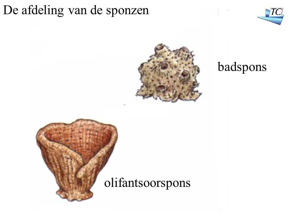 De afdeling van de sponzen badspons olifantsoorspons