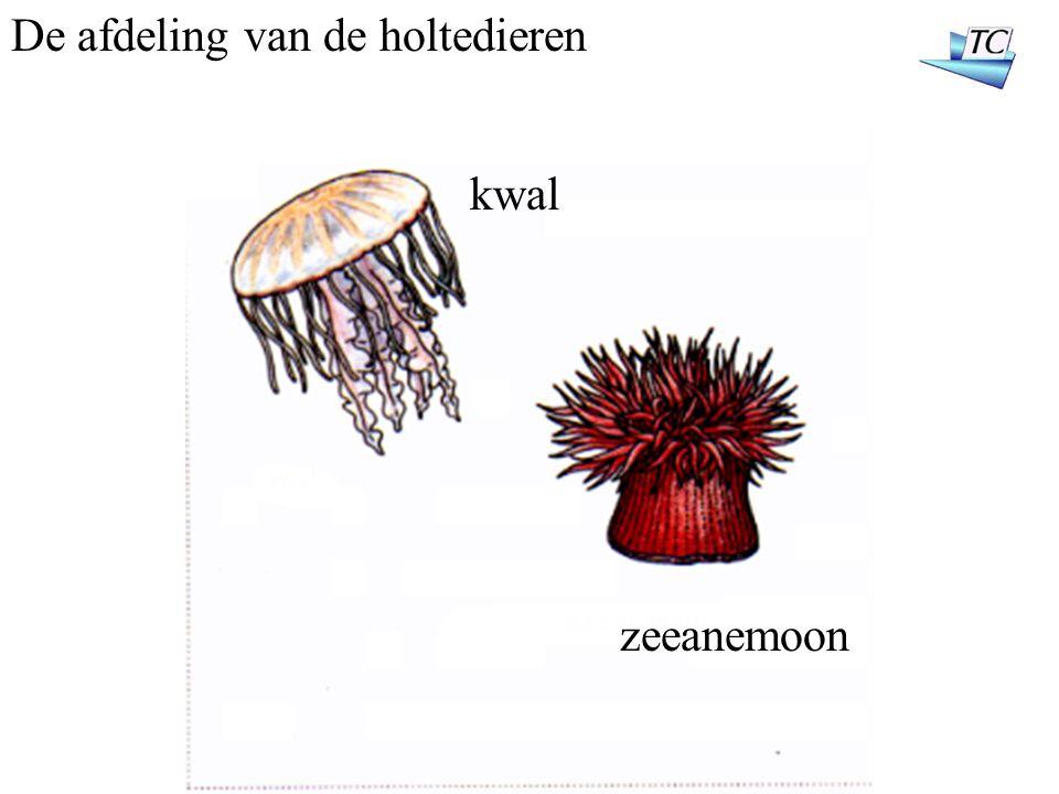 De afdeling van de holtedieren kwal zeeanemoon