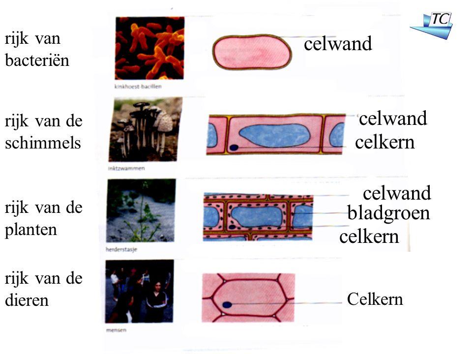celwand rijk van bacteriën rijk van de schimmels rijk van de planten rijk van de dieren celwand celkern bladgroen celwand celkern Celkern