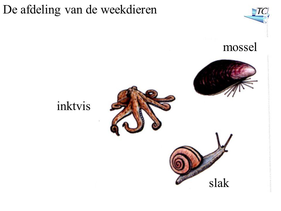 De afdeling van de weekdieren inktvis mossel slak