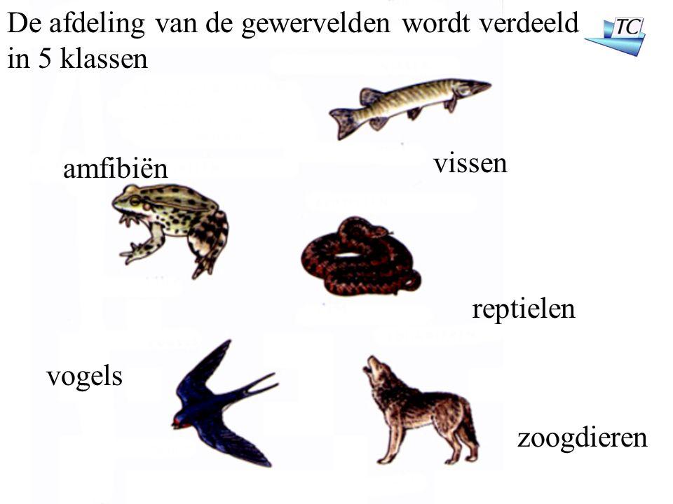 De afdeling van de gewervelden wordt verdeeld in 5 klassen vissen reptielen amfibiën zoogdieren vogels