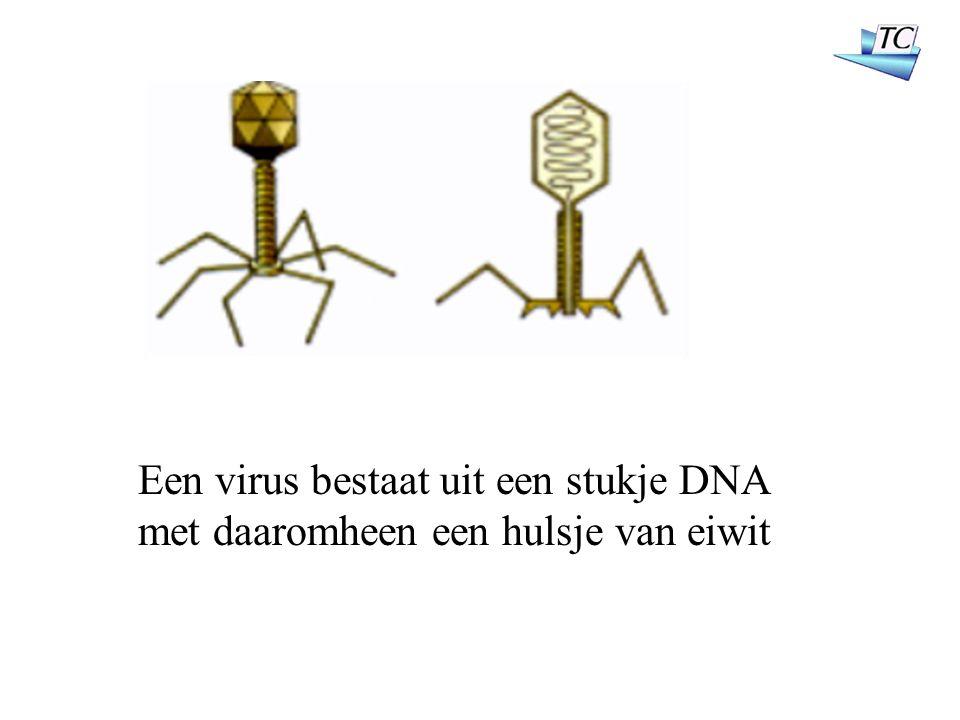 Een virus bestaat uit een stukje DNA met daaromheen een hulsje van eiwit