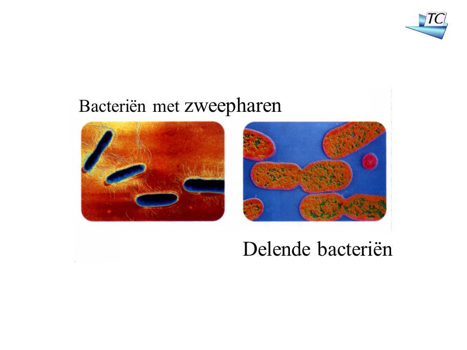Bacteriën met zweepharen Delende bacteriën
