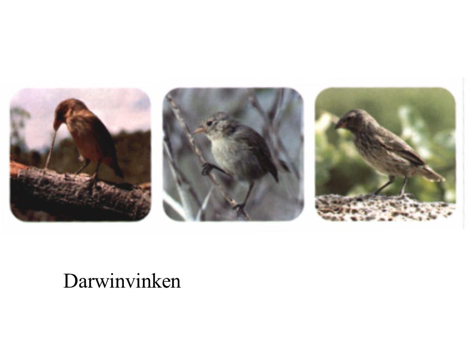 Darwinvinken