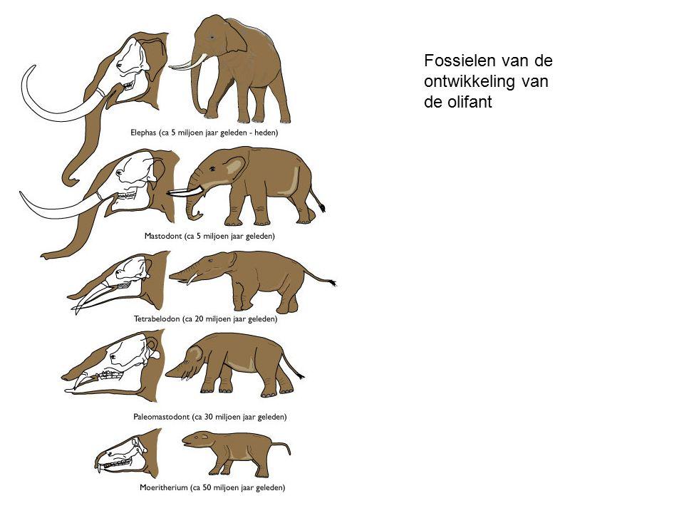 Fossielen van de ontwikkeling van de olifant