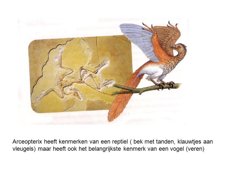 Arceopterix heeft kenmerken van een reptiel ( bek met tanden, klauwtjes aan vleugels) maar heeft ook het belangrijkste kenmerk van een vogel (veren)