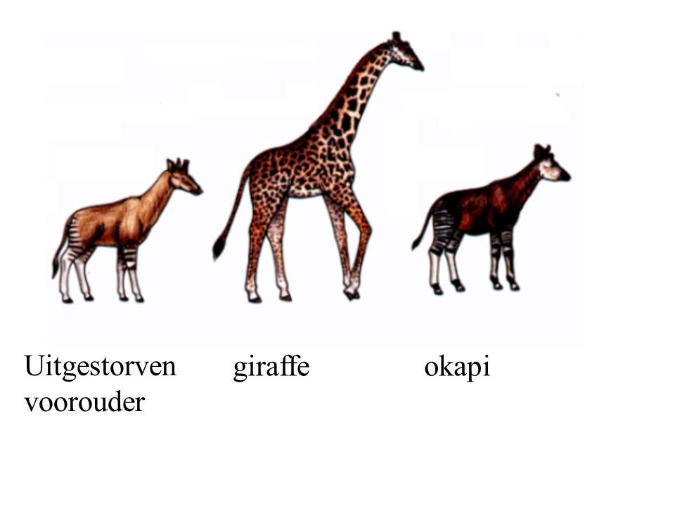 Uitgestorven voorouder giraffeokapi