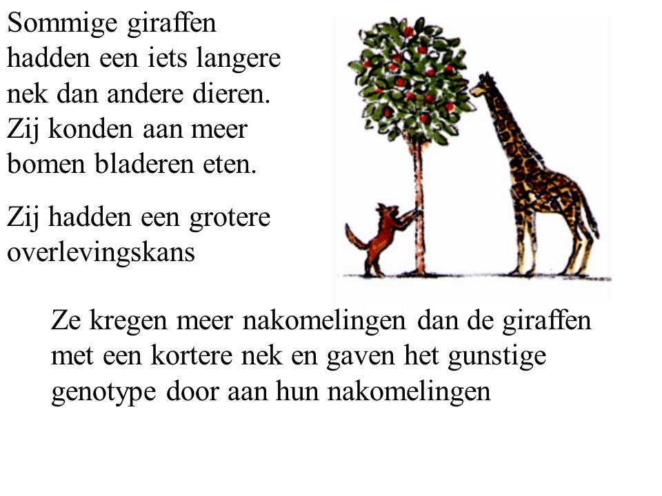 Sommige giraffen hadden een iets langere nek dan andere dieren.