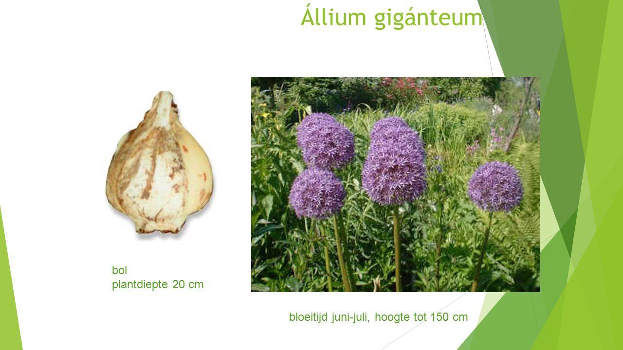 Állium gigánteum bloeitijd juni-juli, hoogte tot 150 cm bol plantdiepte 20 cm