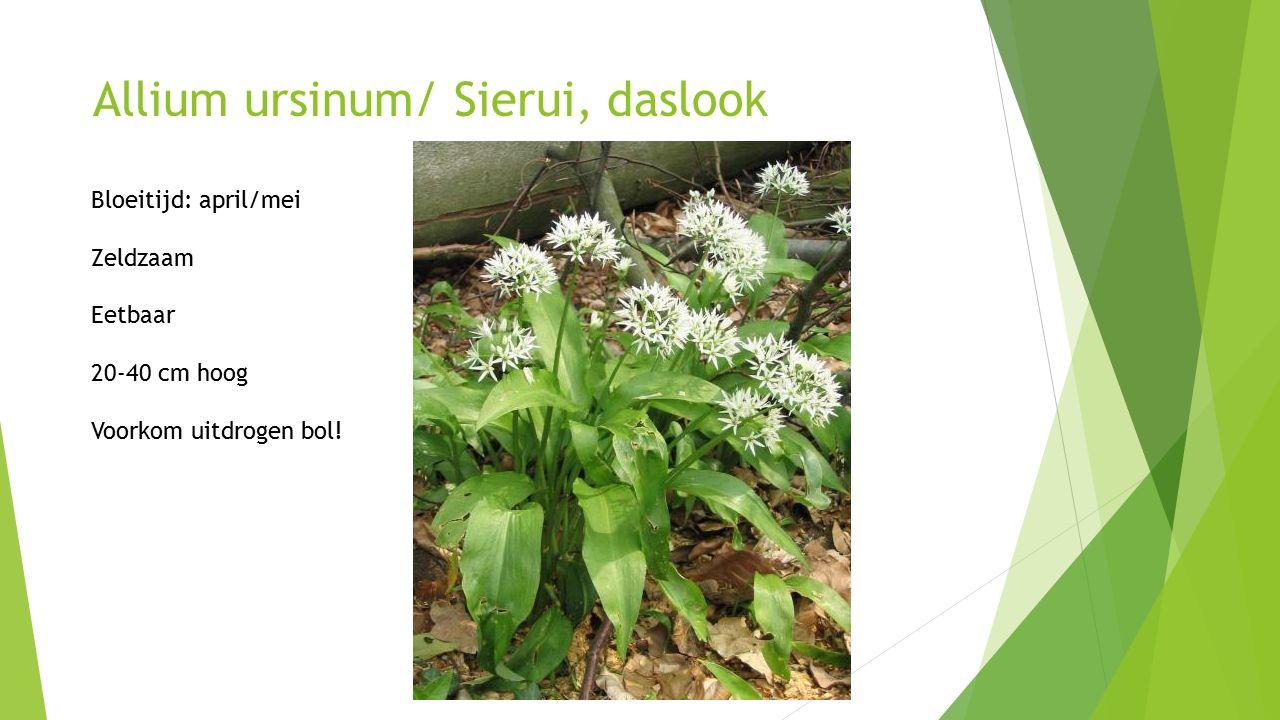 Allium ursinum/ Sierui, daslook Bloeitijd: april/mei Zeldzaam Eetbaar 20-40 cm hoog Voorkom uitdrogen bol!