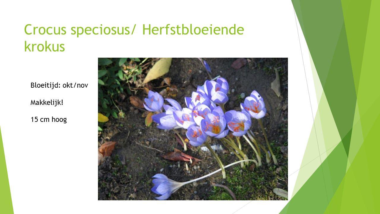 Crocus speciosus/ Herfstbloeiende krokus Bloeitijd: okt/nov Makkelijk! 15 cm hoog