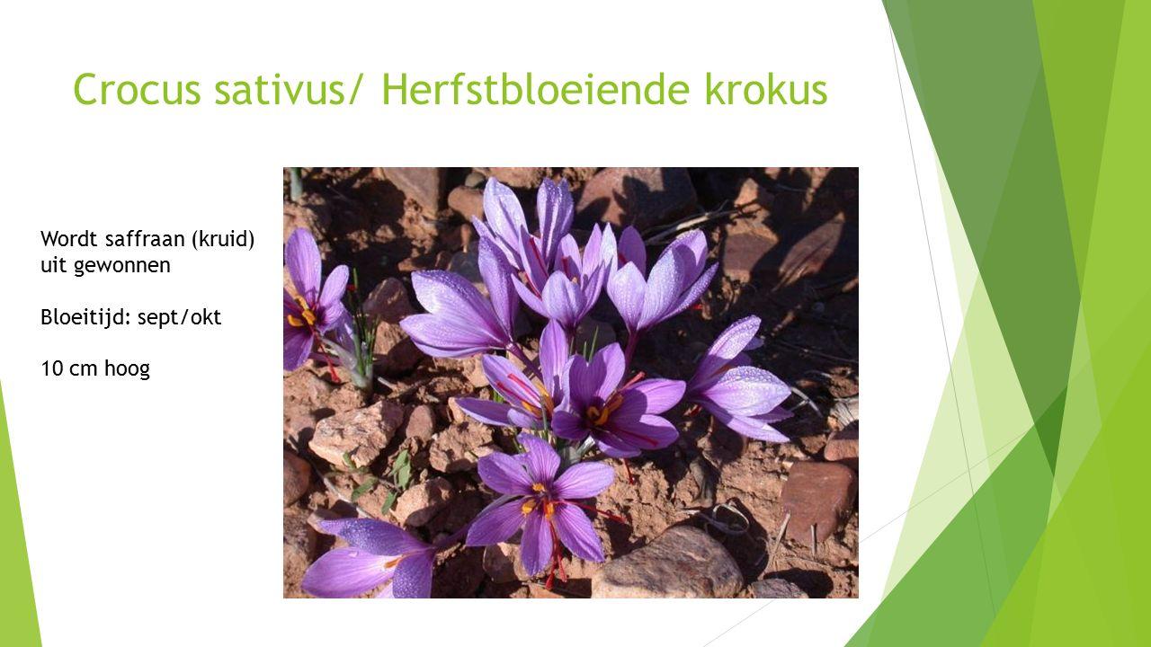 Crocus sativus/ Herfstbloeiende krokus Wordt saffraan (kruid) uit gewonnen Bloeitijd: sept/okt 10 cm hoog