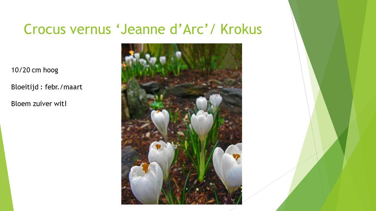 Crocus vernus 'Jeanne d'Arc'/ Krokus 10/20 cm hoog Bloeitijd : febr./maart Bloem zuiver wit!