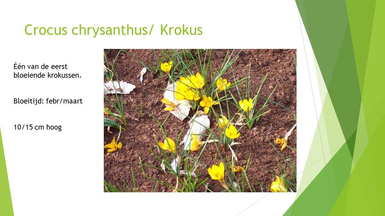 Crocus chrysanthus/ Krokus Één van de eerst bloeiende krokussen.