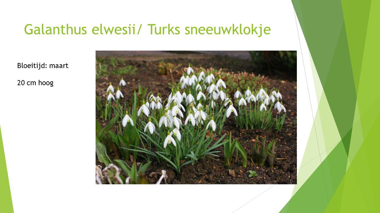 Galanthus elwesii/ Turks sneeuwklokje Bloeitijd: maart 20 cm hoog
