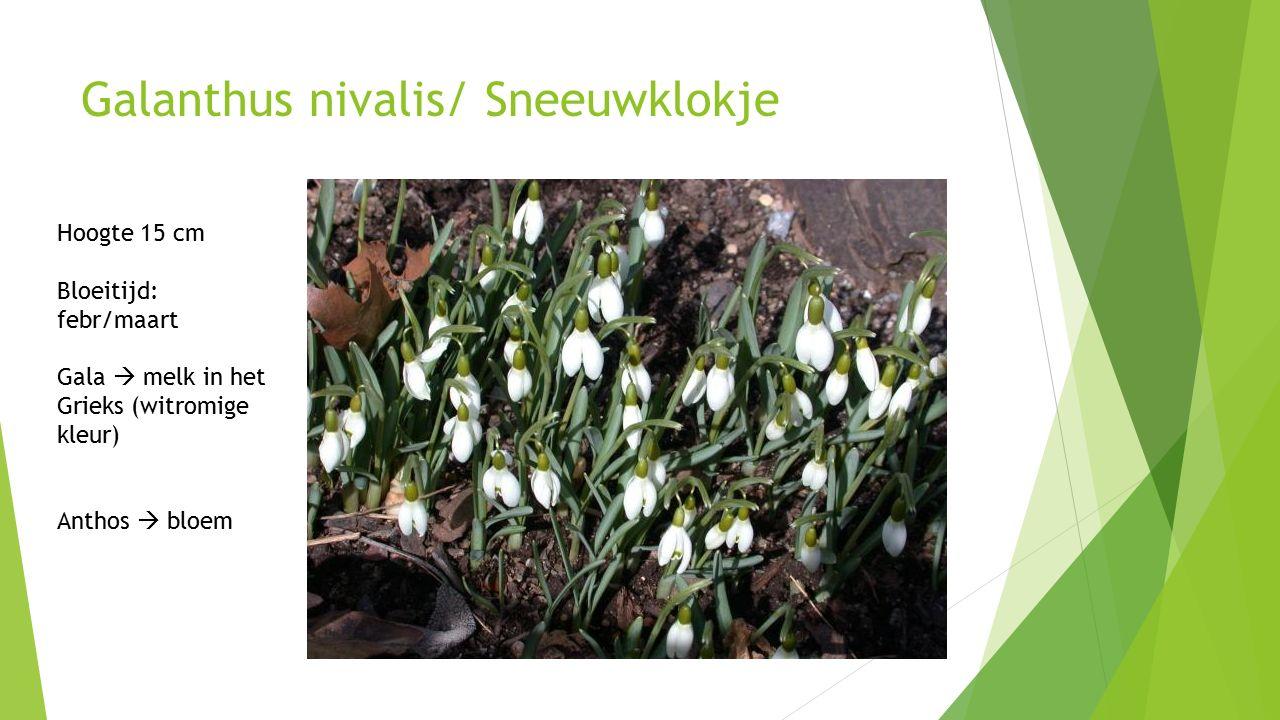 Galanthus nivalis/ Sneeuwklokje Hoogte 15 cm Bloeitijd: febr/maart Gala  melk in het Grieks (witromige kleur) Anthos  bloem