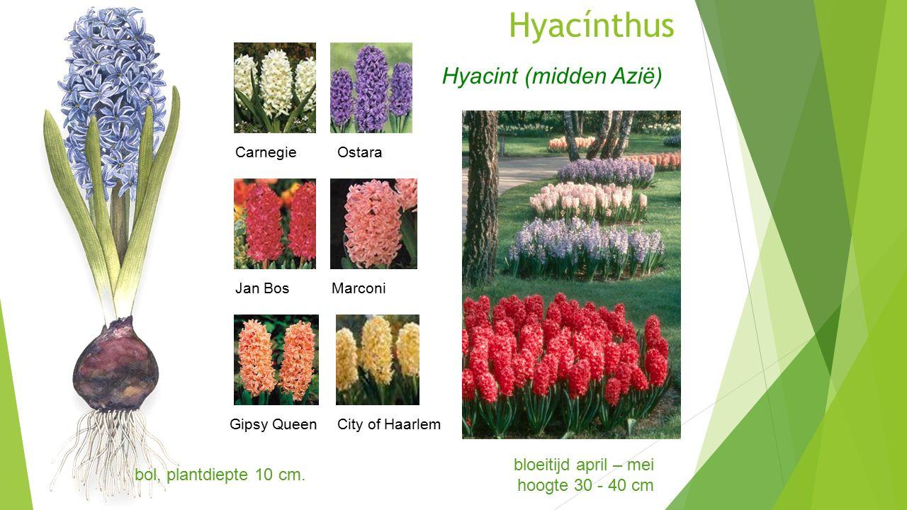 Hyacínthus bloeitijd april – mei hoogte 30 - 40 cm Hyacint (midden Azië) CarnegieOstara Jan BosMarconi Gipsy QueenCity of Haarlem bol, plantdiepte 10 cm.