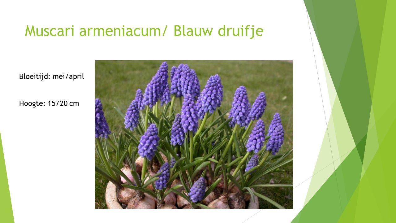 Muscari armeniacum/ Blauw druifje Bloeitijd: mei/april Hoogte: 15/20 cm