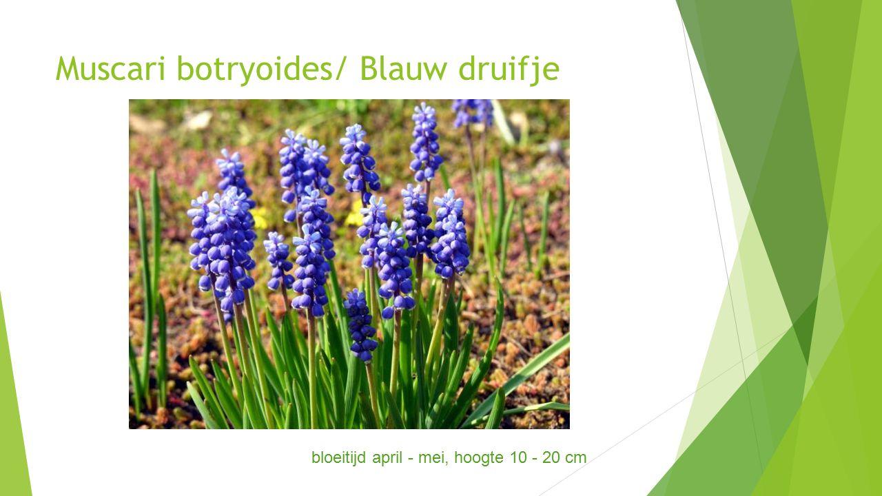 Muscari botryoides/ Blauw druifje bloeitijd april - mei, hoogte 10 - 20 cm