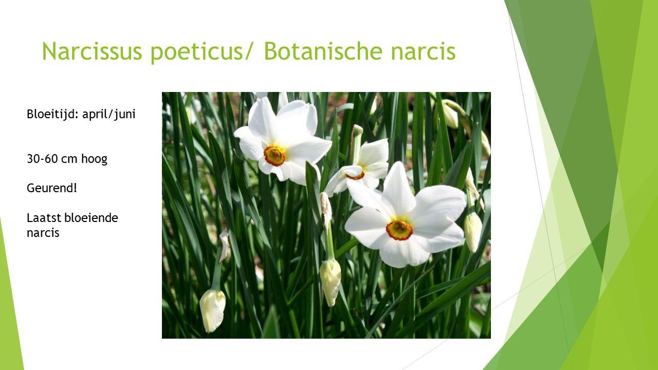 Narcissus poeticus/ Botanische narcis Bloeitijd: april/juni 30-60 cm hoog Geurend.