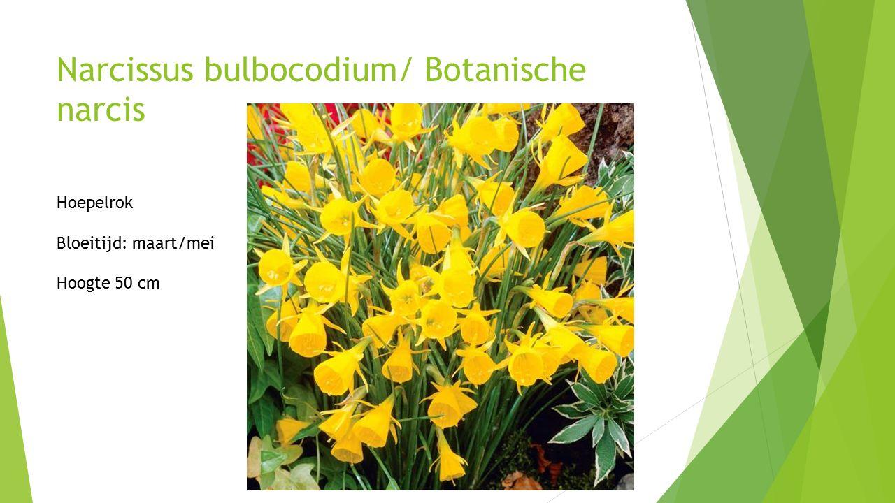 Narcissus bulbocodium/ Botanische narcis Hoepelrok Bloeitijd: maart/mei Hoogte 50 cm