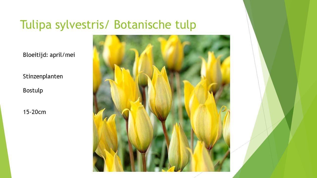 Tulipa sylvestris/ Botanische tulp Bloeitijd: april/mei Stinzenplanten Bostulp 15-20cm