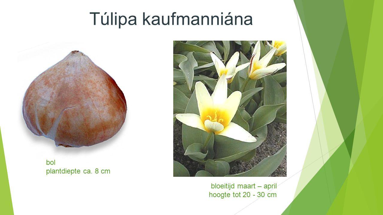 Túlipa kaufmanniána bloeitijd maart – april hoogte tot 20 - 30 cm bol plantdiepte ca. 8 cm