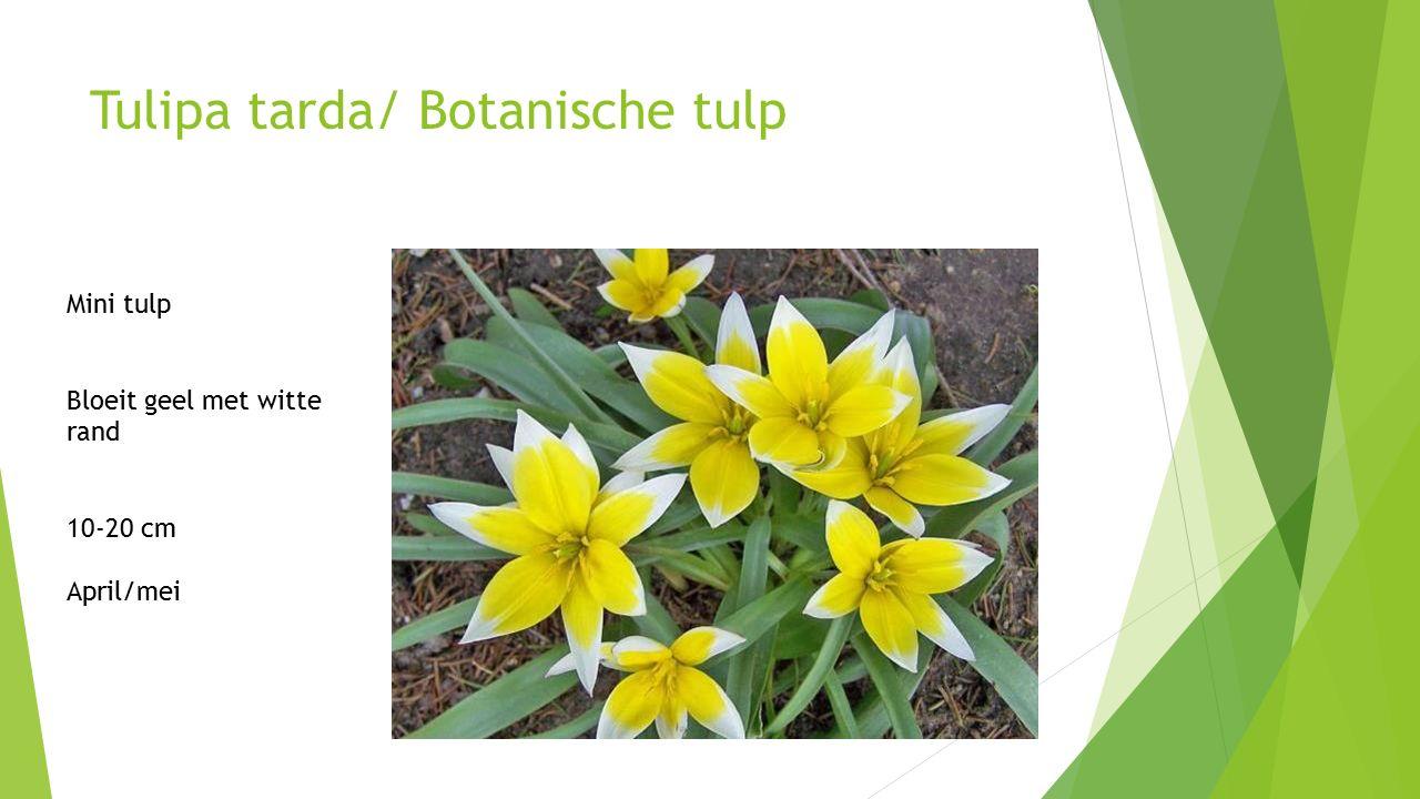 Tulipa tarda/ Botanische tulp Mini tulp Bloeit geel met witte rand 10-20 cm April/mei
