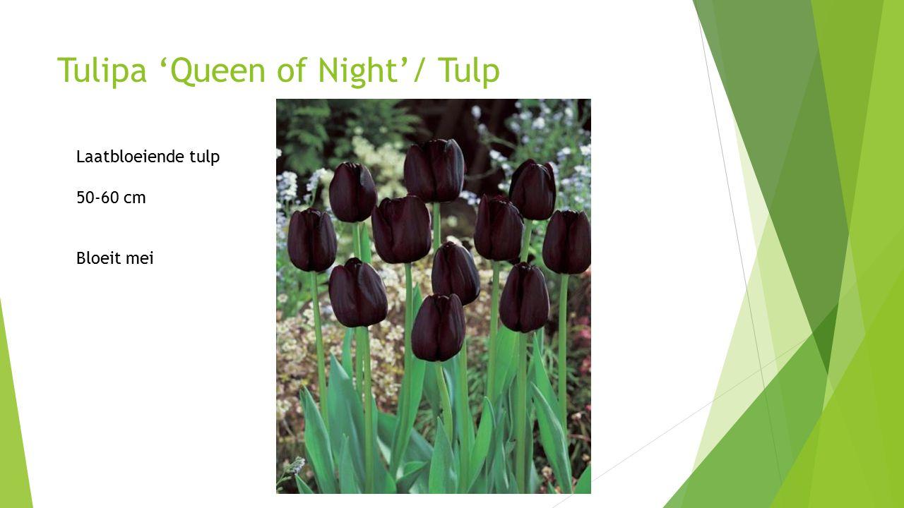 Tulipa 'Queen of Night'/ Tulp Laatbloeiende tulp 50-60 cm Bloeit mei