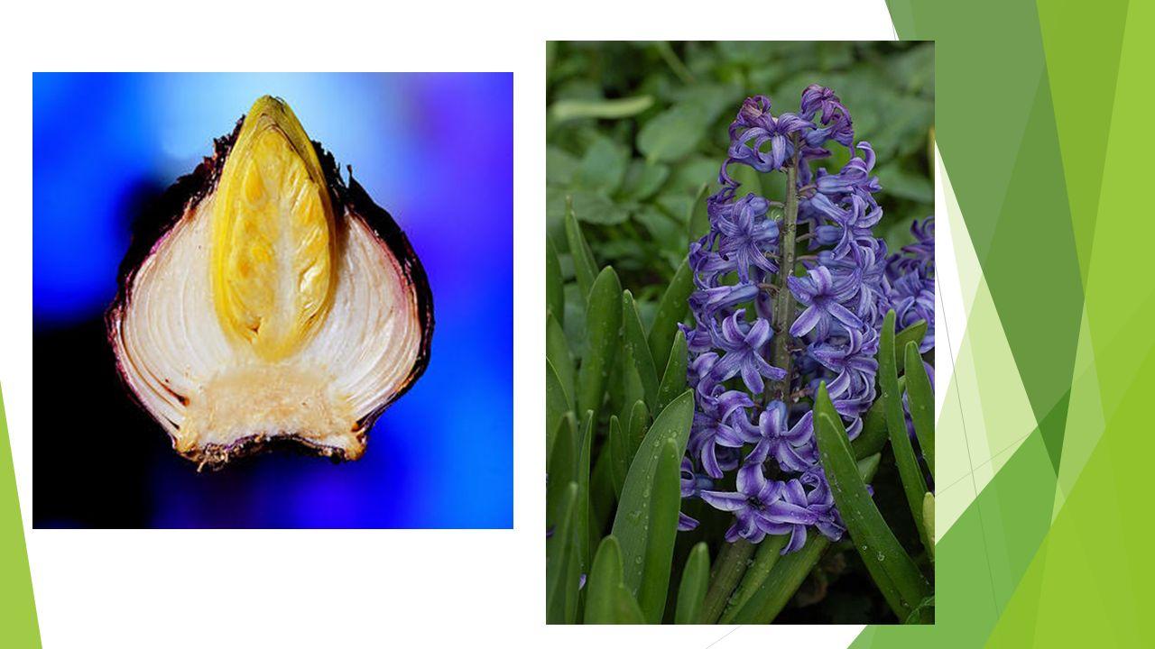 Narcissus 'Tete a tete'/ Narcis Bekendste! Bloeitijd: maart Hoogte: 15 cm